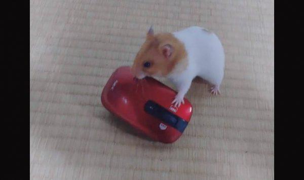 ハムスターが飼い主のマウスを奪って逃走! 自分の体格ほどのマウスを運ぶ姿に「力持ちだなぁ」「どうするつもりなのw」の声