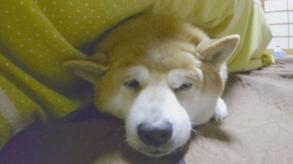 """柴犬は散歩よりコタツが好き? 断固として""""ヌクヌクする柴犬""""と、なだめすかす飼い主の駆け引きをご覧あれ!"""