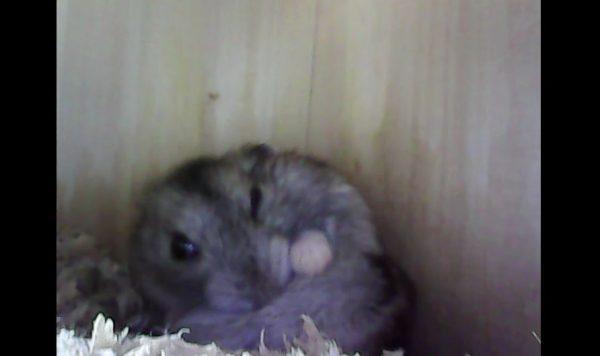 ハムスター小屋の中をファイバースコープで隠し撮り!  油断しきったハムスターのくつろぐ姿に「かわいすぎー」の声