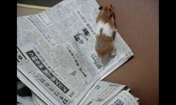 """ハムスターの脱走対策に""""新聞紙""""を設置 ツルツルと滑るハムスターに「わろたw」「可愛い」の声"""