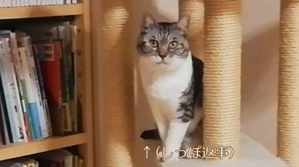 シッポでお返事する猫ちゃん…エサ皿を見てはじっと飼い主さんを見つめて、静かにご飯を要求!