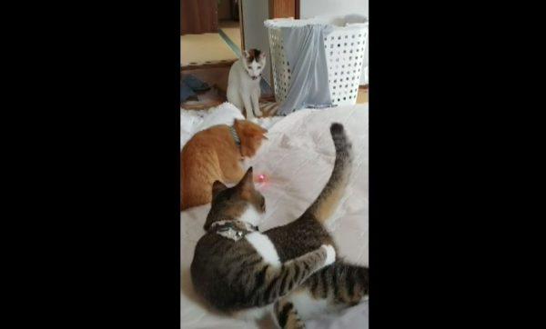 レーザーポインター、猫に人気すぎん?  激しく飛び回って追いかける様子に「すげえw」「かわいい」の声
