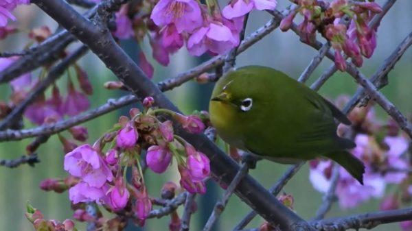 京都の河津桜の名所「淀水路」へ… 人気のない早朝、桜の蜜を忙しく吸うメジロを狙ってきた!