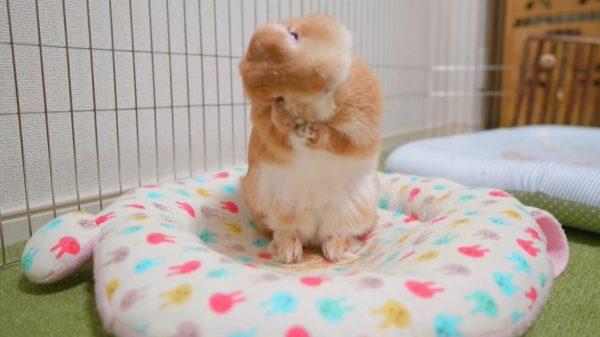 ネザーランドドワーフ麦ちゃんの1日の過ごし方…毛づくろいや欠伸など、ウサちゃんの暮らしぶりが見える動画に「可愛い!」の声