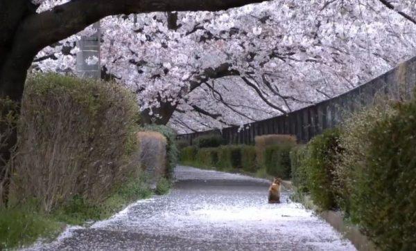 川沿いの満開の桜と猫…日本の春を感じる光景に「美しい」「ホッとする懐かしさ」の声