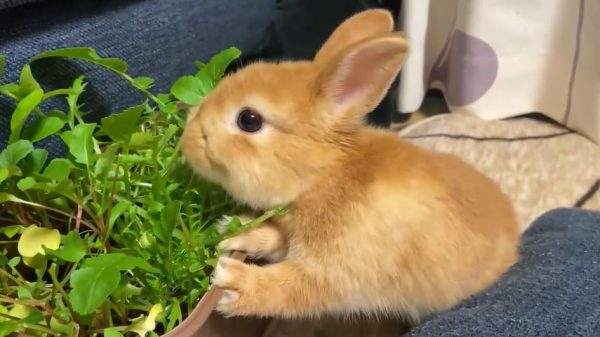 ウサギさん、リビングを探検しては葉っぱをモグモグ…立ち上がって野菜を食べる姿に「おててかわいい!」「サラダバーだ」の声