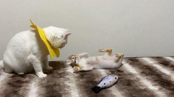ネコ社会にも新人教育が…? 先輩猫のポーズを一生懸命マネする子猫に「何そのポーズw」「うつったw」の声