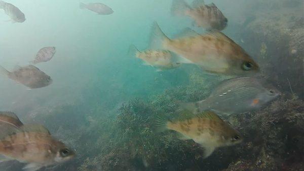 横浜市「杉田臨海緑地」に水中カメラを沈めてみた! 釣れないのは腕のせいなのか否かと映像を見たら「釣り堀レベルで魚がいる」という結果に