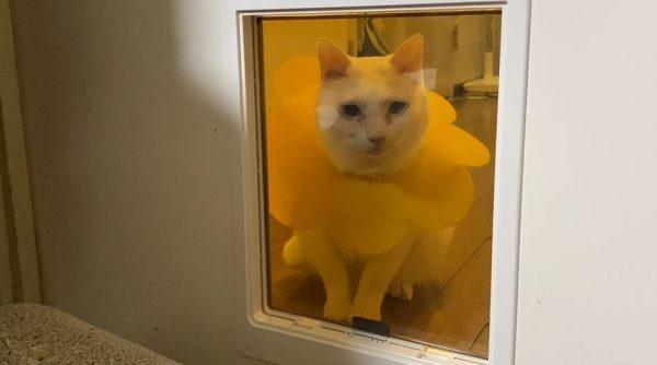 猫用ドアと格闘すること11ヶ月…ついに克服した猫ちゃんに「がんばったー!」「えらいぞ!」と労いの声集まる