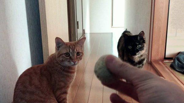 猫とボール遊びをした結果、犬みたい盛り上がる猫ちゃんとジッと見守る猫ちゃんとの対比がクッキリ!