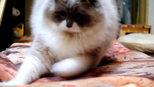 """猫ちゃんがオモチャを追いかけてダンシング! モフモフの体から繰り出す""""華麗なステップ""""に「かわいい」の声集まる"""