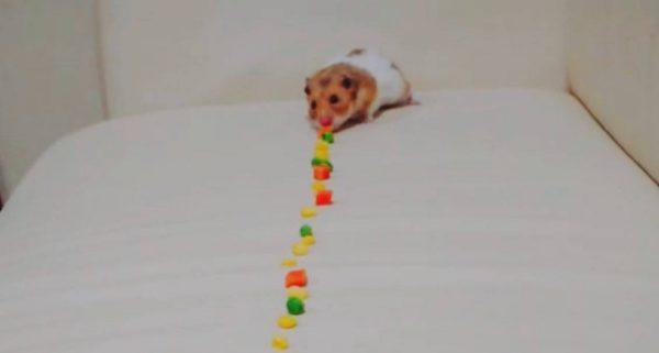 吸引力の変わらないハムスターが、長~い野菜の列をじっくりと食べ尽くす!