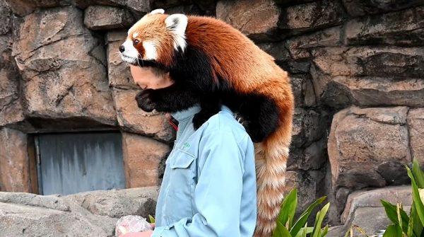 飼育員さんLOVEのレッサーパンダ、肩の上でご飯を食べるリラックスぶりを披露