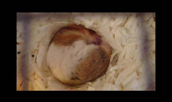 """いびきをかいて眠るハムスター…丸すぎる体と、かすかに響く""""かわいい音""""で癒される!"""