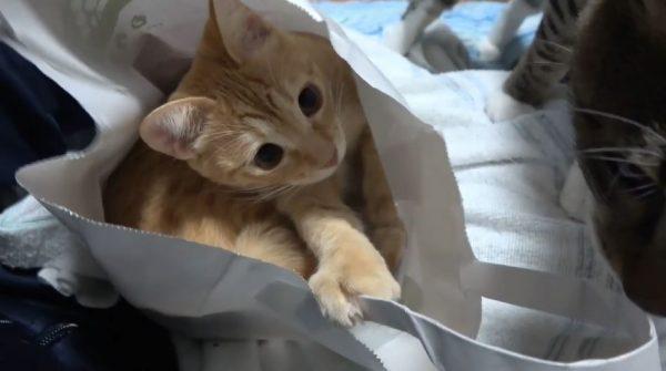 紙袋の中で遊ぶ子猫… お兄ちゃん猫に袋の中を覗きこまれて見せた反応は?