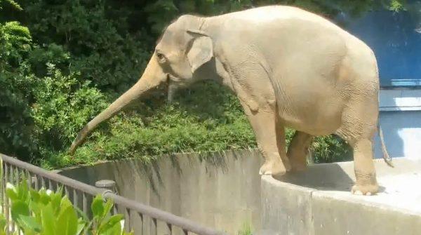 """動物園のゾウさん、自らエサを""""獲りに""""行く大胆な行動を披露! 軽快なフットワークで無事ハッピーに"""