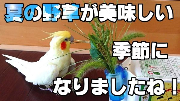 """オカメインコに""""旬の味""""をあげたい飼い主さん…結果、夏の味「オオバコ」に愛鳥が激ハマり!"""