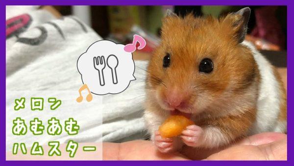 はじめて食べたメロンが美味しすぎたハムスター、「もうないの?」と探す姿がカワイイ!