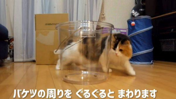 """家猫""""液状化""""計画…! 透明なバケツに仕込んだおやつで誘い込むトラップを作って見守ってみた"""